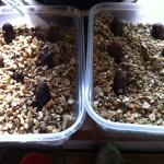 PAndanus furcatus seeds