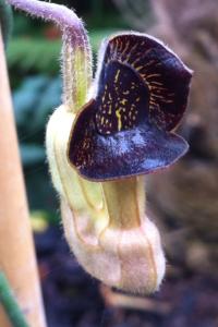Aristolochia curcurbitifolia