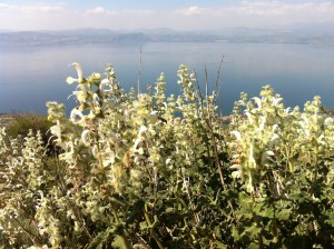 Salvia dominica with the Sea of Galilee behind.