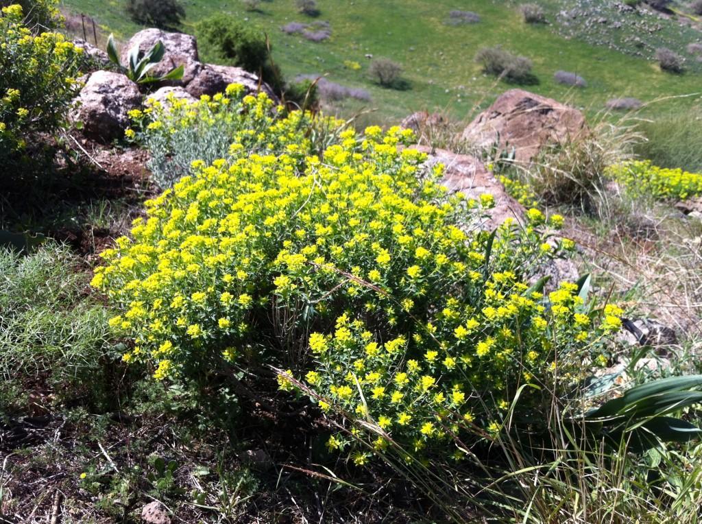 Euphorbia heirosolymitana