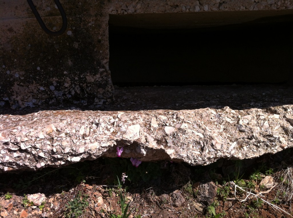 Cyclamen grow in the cracks in the gun emplacements concrete!