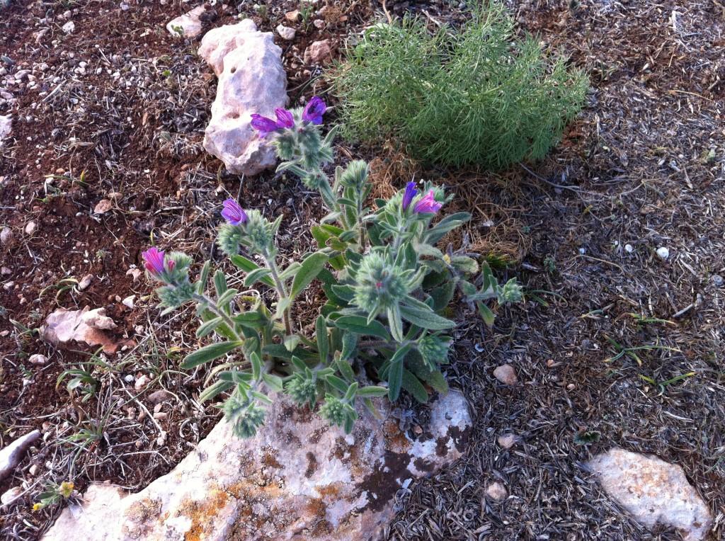 Echium angustifolium i think!