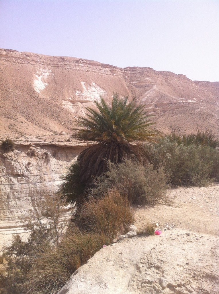 Wild date palms