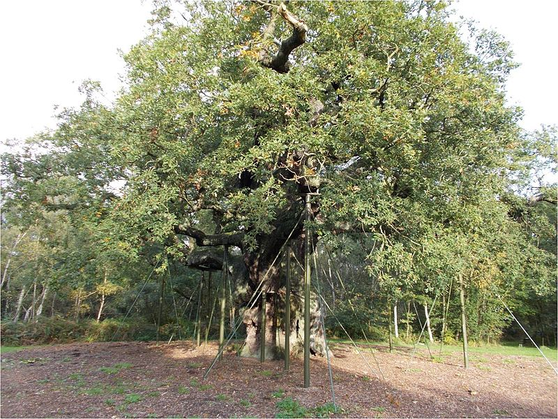 Major Oak in Sherwood  Forest, Nottinghamshire. According to folklore, it was used by Robin Hood for shelter. From Wikipedia Commons