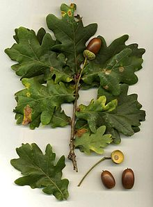 Foliage and acorns of Quercus robur. From Wikipedia Commons.