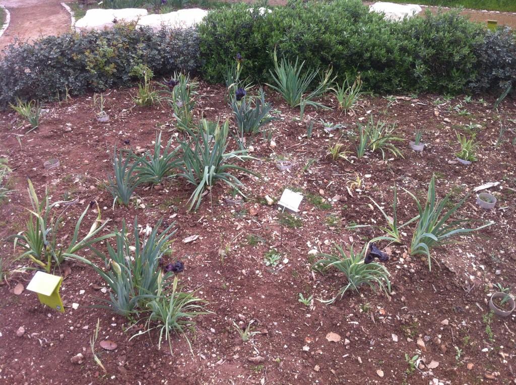 Iris atropurpurea flowering in Ramat Hanadiv's iris garden