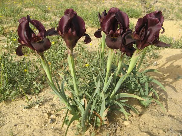 More Iris petrana