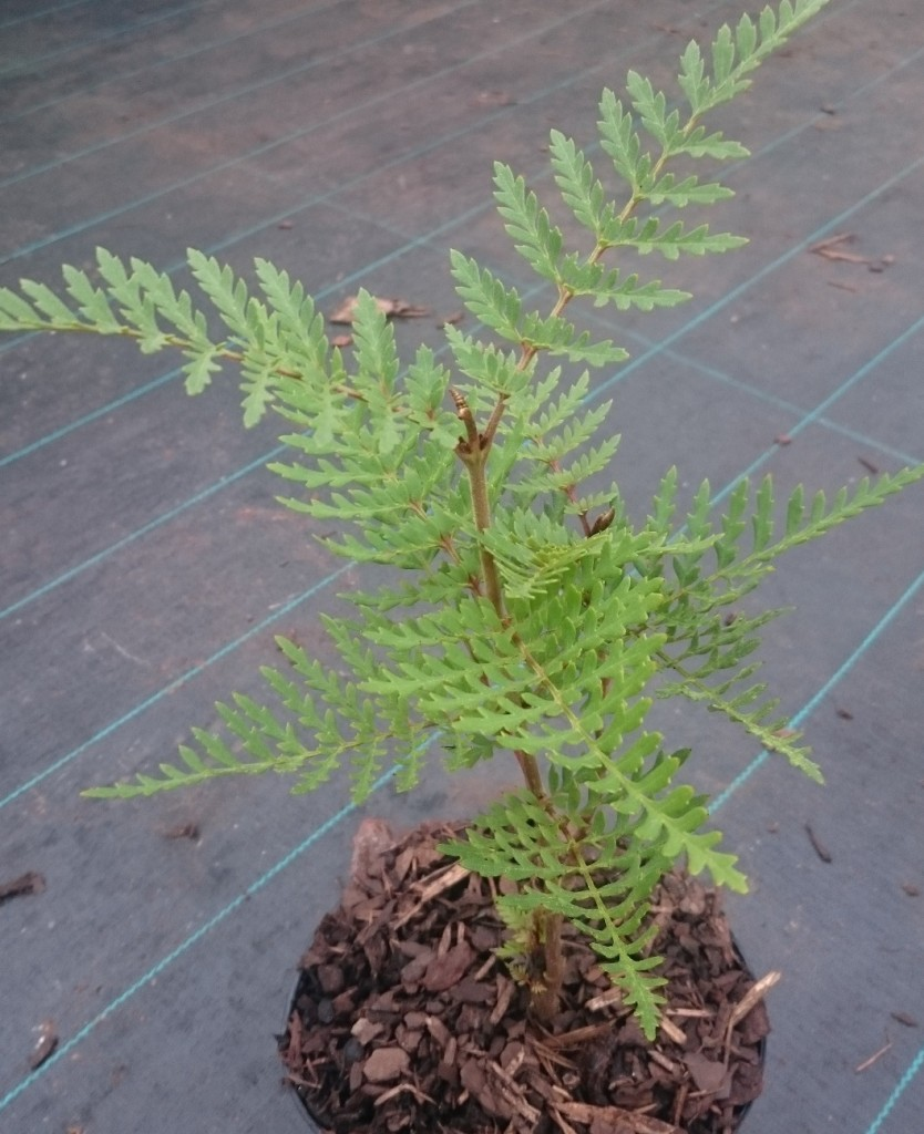 A happy and very healthy Lomatia ferruginea