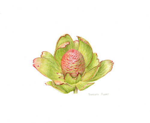 Cone bush (Leucadendron) seed head by Barbara Munro
