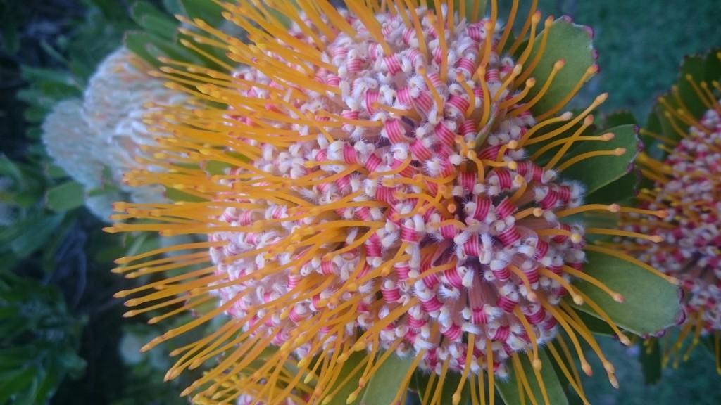 Leucospermum mundii