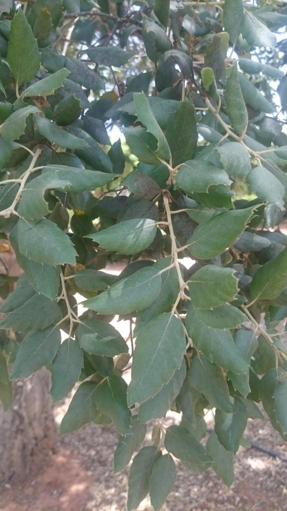 Quercus boissieri
