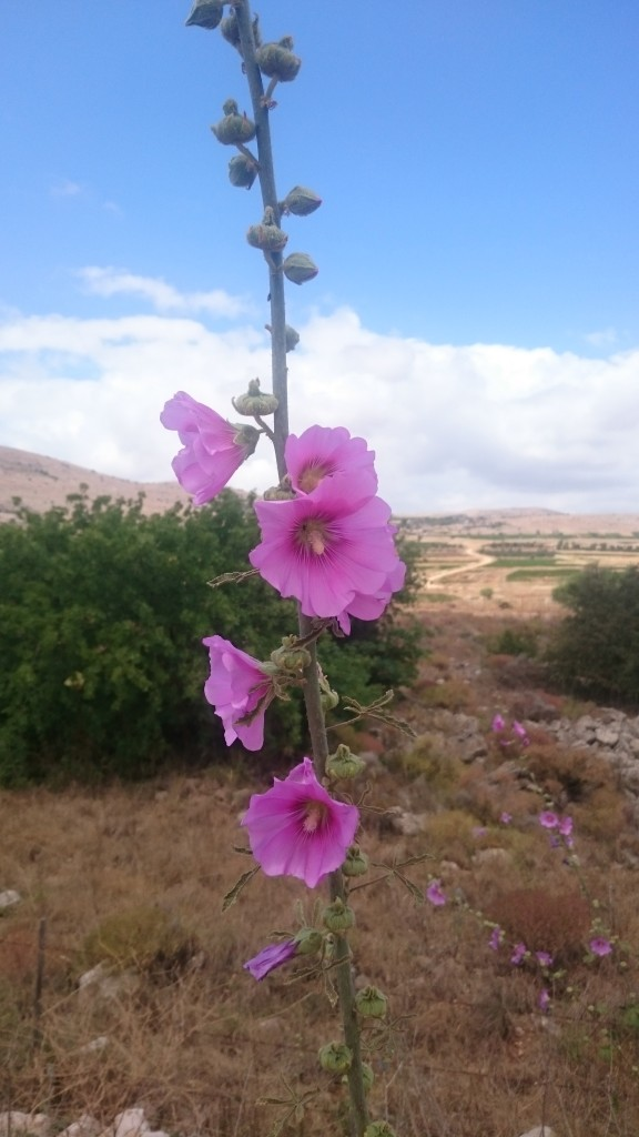 Wild hollyhock with Lebanon in the background.