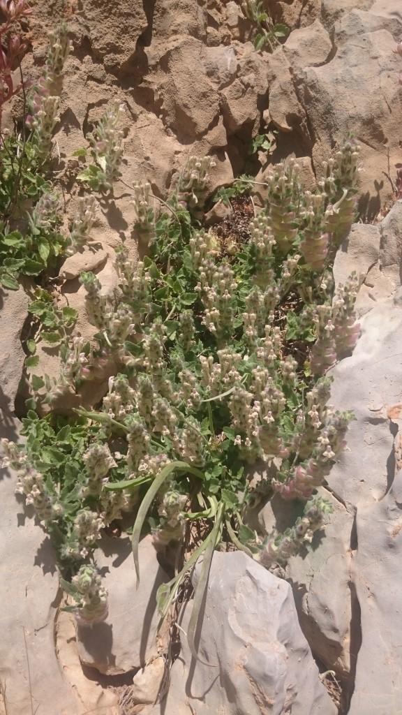 Scutellaria utriculata