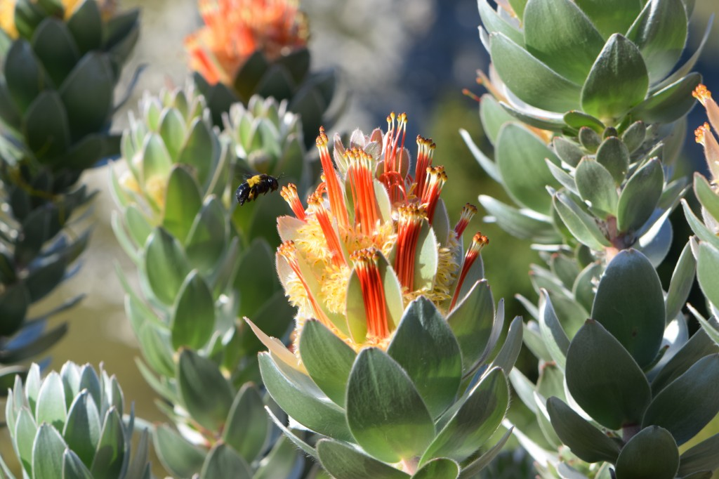 Mimetes hottentoticus. Mimetes is one of the genera being researched by the 'proteas With Altitude' project