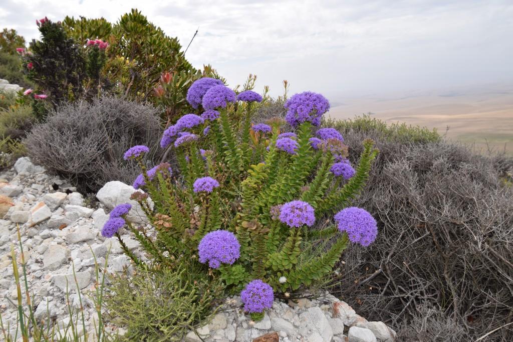 the vivid blue Pdeudoselago pulchra