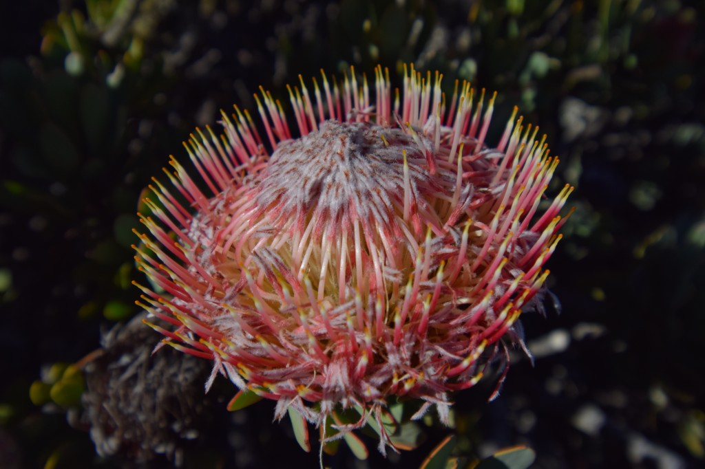 Protea rupicola is only found in Altimontain fynbos
