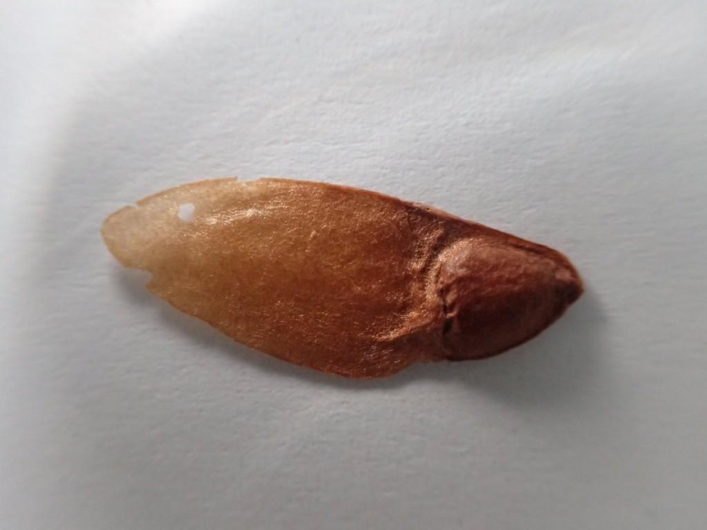 a Orites seed