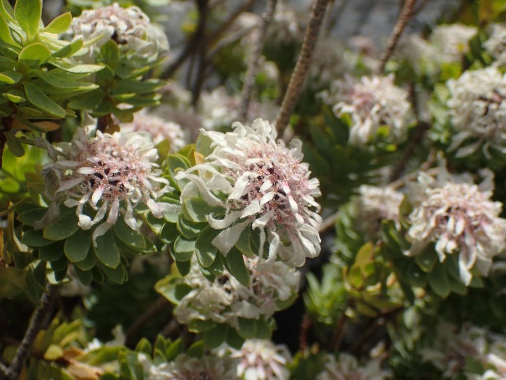 Cape Edelweiss (Lachnaea macrantha)
